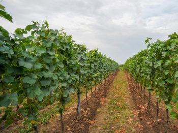 Pinot gris ve vinici Kněžské